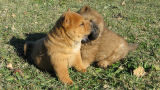 Chiots chow-chow